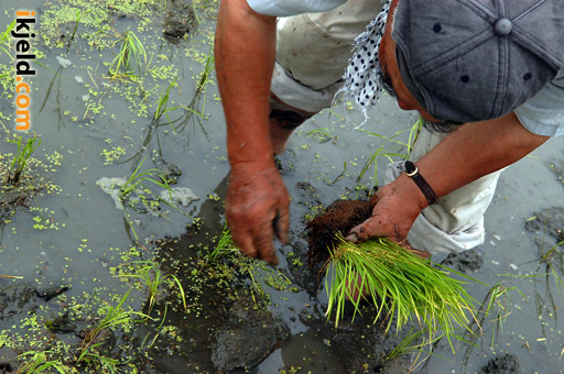 Japanese Farmer Planting Rice